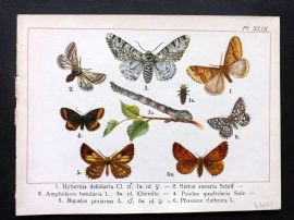 Joanny Martin 1902 Antique Butterfly Print 49
